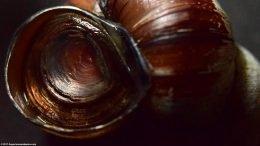 Japanese Trapdoor Snail Operculum
