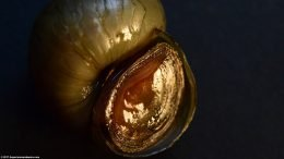 Japanese Trapdoor Snail Shell Aperture