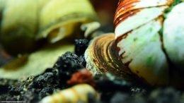 Japanese Trapdoor Snail Shell Operculum