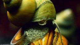Japanese Trapdoor Snail Tankmates