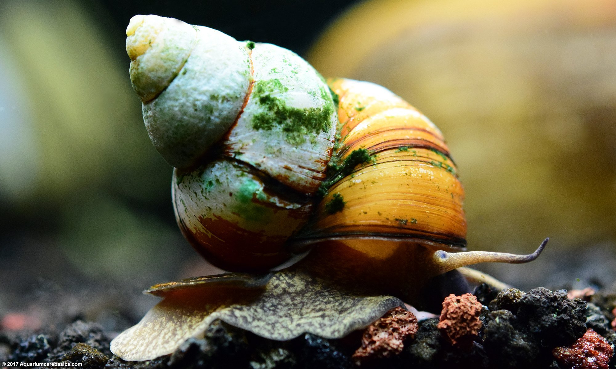Japanese Trapdoor Snails In Freshwater Tanks