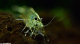 Japonica Amano Shrimp In A Freshwater Tank