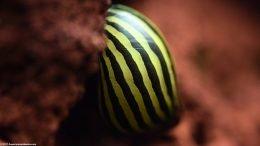 Healthy Zebra Nerite Snail On A Lava Rock