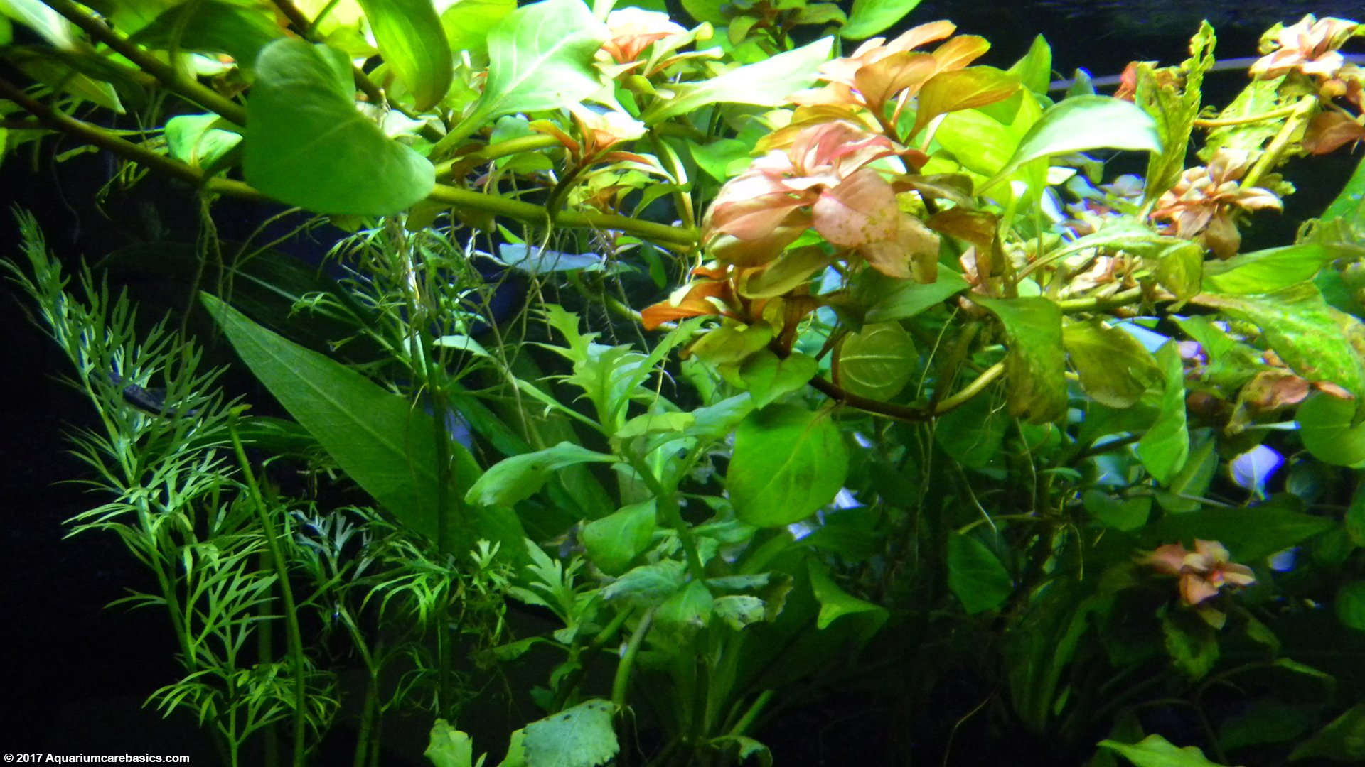 Aquarium plants add beauty to a freshwater tank for Fish tank live plants