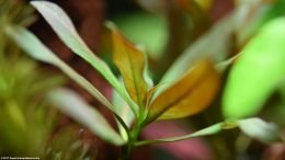 Ludwigia Peruensis Leaves
