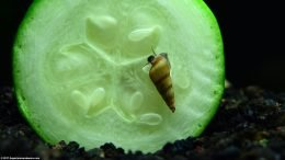 Malaysian Trumpet Snail Diet Can Include Green Zucchini