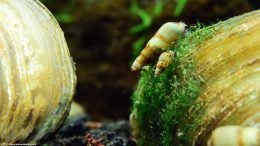 Malaysian Trumpet Snails On An Asian Gold Clam
