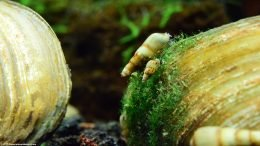 Malaysian Trumpet Snails Feeding