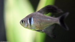 Male Black Phantom Tetra, A Popular Freshwater Aquarium Fish