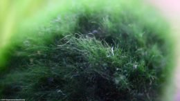 Marimo Moss Ball, Closeup