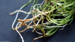 Micro Sword Roots, Upclose