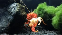 Molted Crayfish Shells Contain Minerals