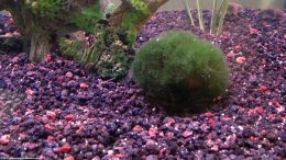 Moss Ball In A Freshwater Aquarium