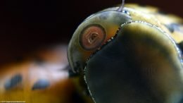 Mouth And Eye Closeup: Zebra Nerite Snail