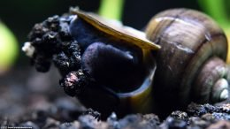 Mystery Snail On Black Substrate, Closeup