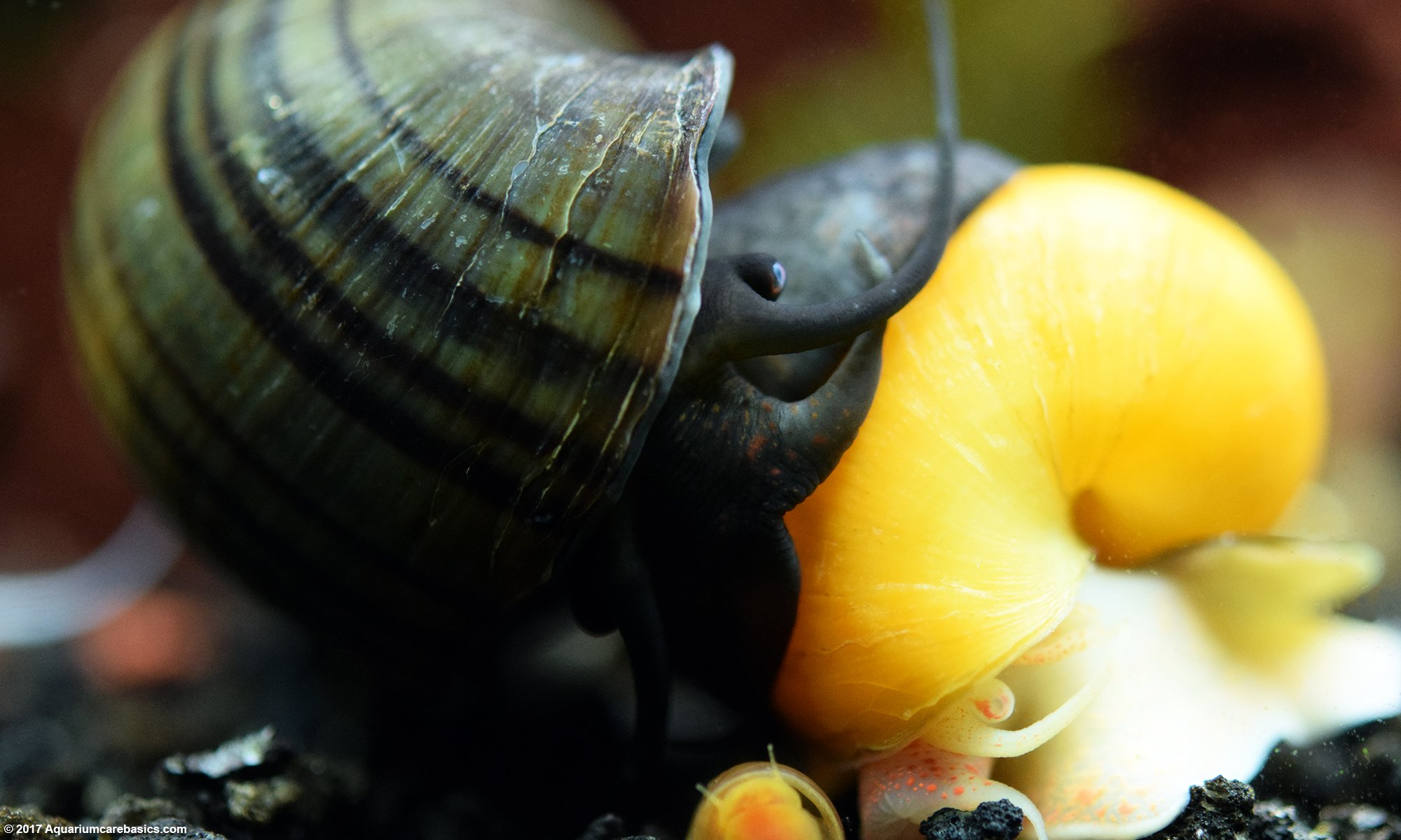 Mystery Snail Care Is Easy Provided The Tank Is Established
