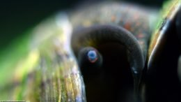 Mystery Snail Eye, Closeup