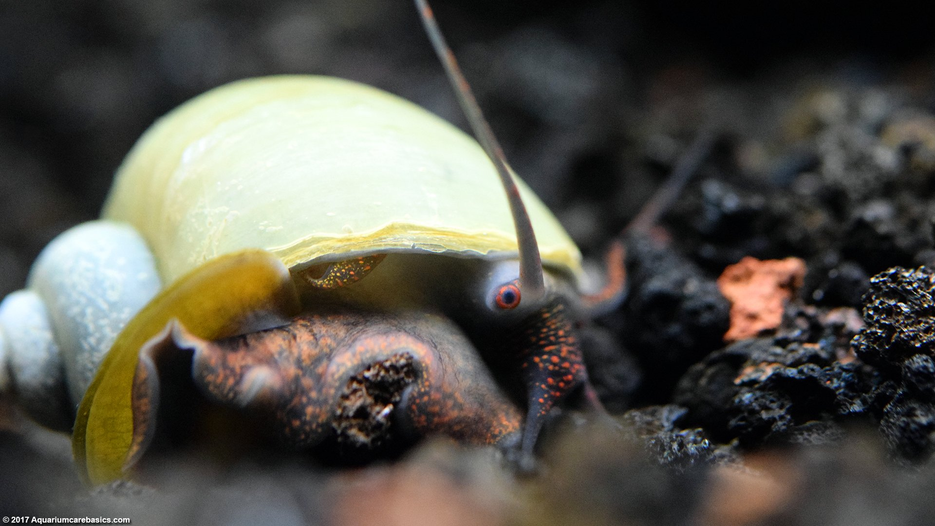 Mystery Snail Care Diet Feeding Shell Size & Tankmates
