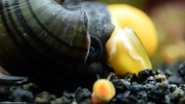 Mystery Snail And Gold Inca Snail As Tank Mates