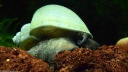 Mystery Snail On A Lava Rock