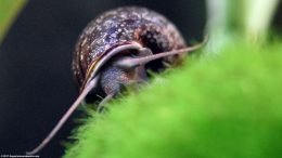 Mystery Snail And Moss Ball, Front View