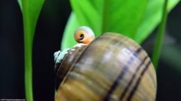 Mystery Snail And Ramshorn Snail Tank Mates