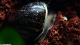 Mystery Snail Shell With Foot On Lava Rock
