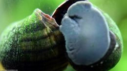 Mystery Snail Shell With Green Algae