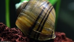 Mystery Snail Shell Showing a Ridged Pattern