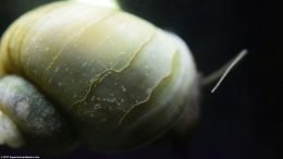 Mystery Snail Shell Texture, Upclose