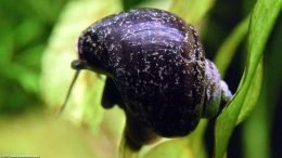 Mystery Snails Shell, Upclose