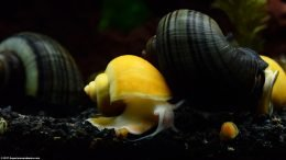 Mystery Snails And A Gold Inca Snail