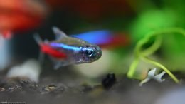 Neon Tetra In A Planted Aquarium