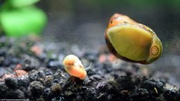 Nerite And Ramshorn snails On Tank Glass