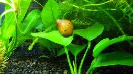 Nerite Snail On Freshwater Aquarium Plants