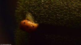 Nerite Snail Body On Sponge Filter