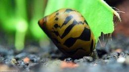 Nerite Snail Eating Dead Plant Matter