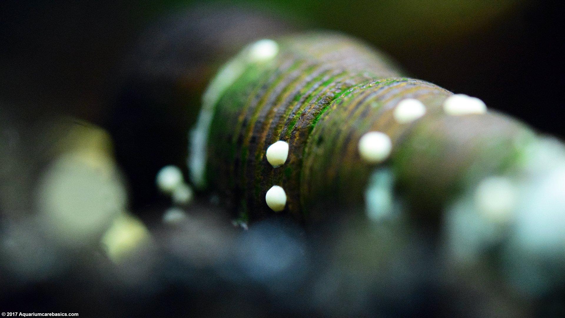 Nerite snails algae eating care lifespan eggs video for Snail eggs in fish tank