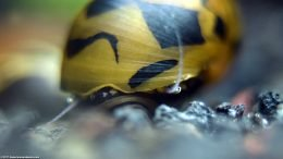 Nerite Snail Eye, Closeup