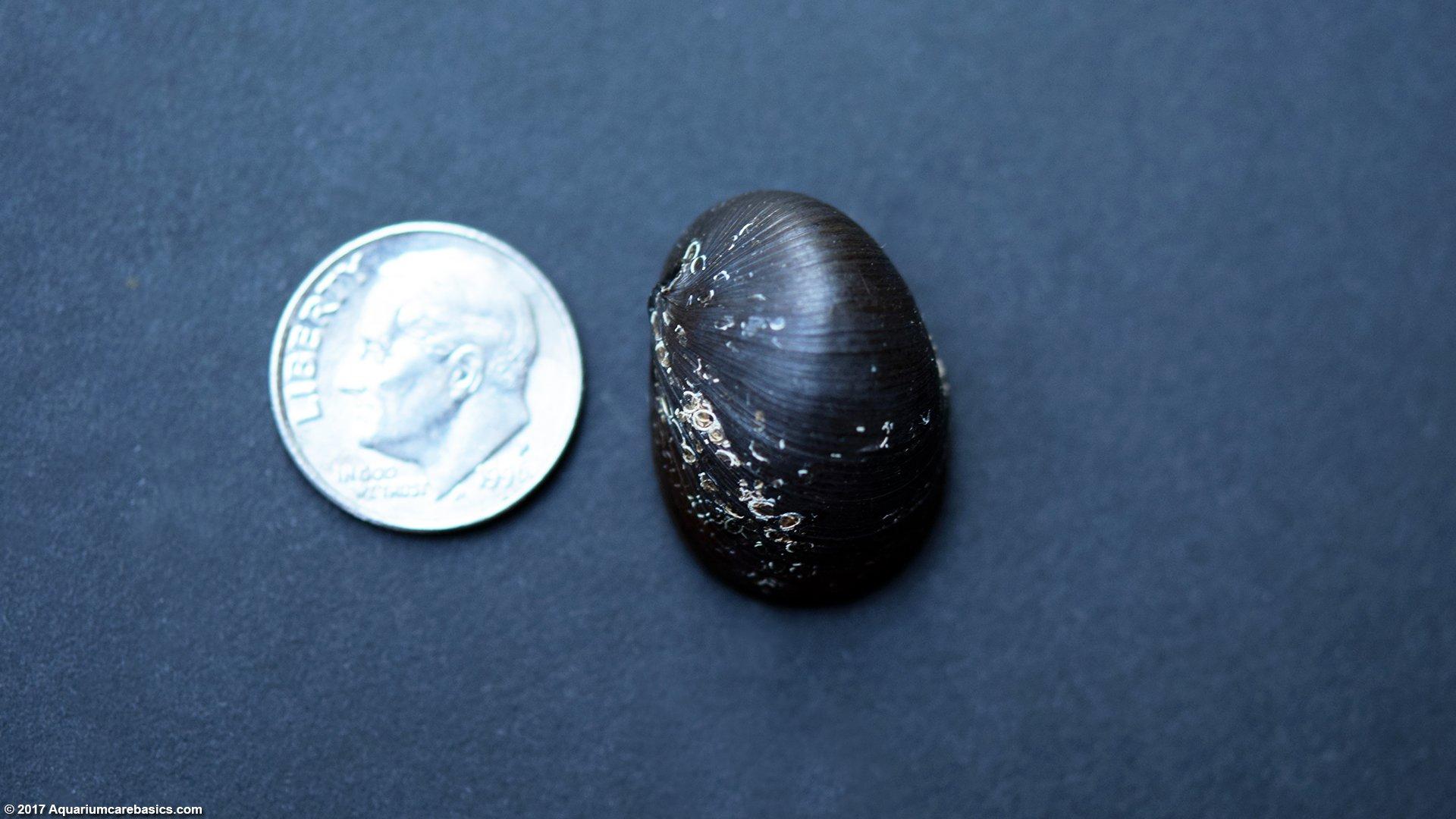 Nerite Snail Size Comparison