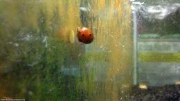 Nerite Snails Eating Algae On Glass