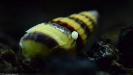 Nerite Snails Egg On An Assassin Snail