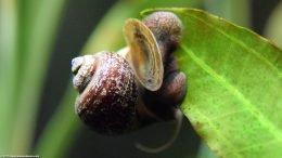 Operculum Opening On Mystery Snail