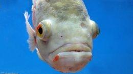 Oscar Fish Eye, Closeup
