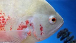 Oscar Fish Side View: Eye Gill Fin