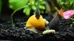 Otocinclus Catfish Cleaning Gold Inca Snail Shell