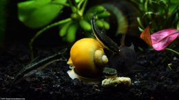 Otocinclus And Cory Catfish With Gold Inca Snail, Feeding