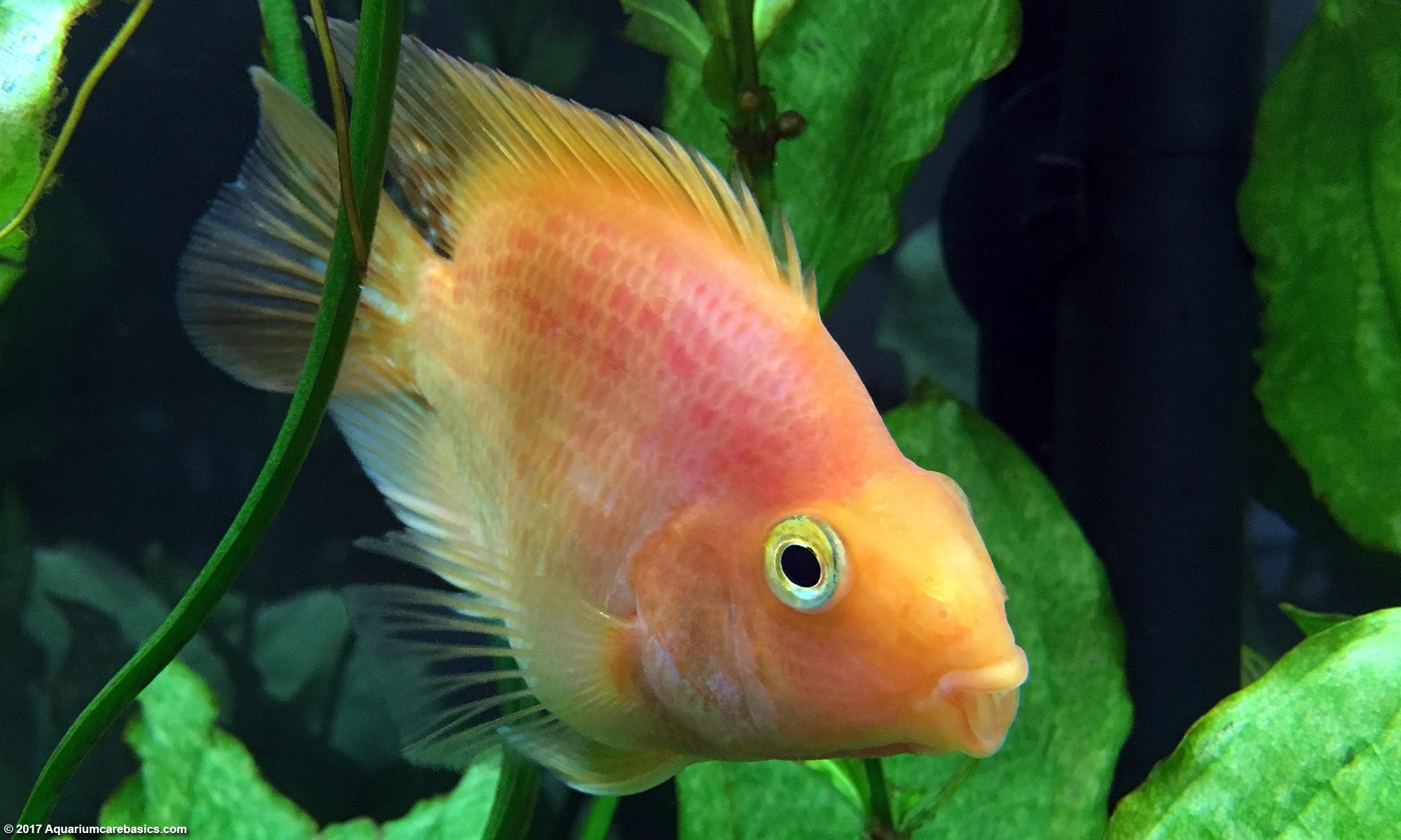 Parrot Cichlid In A Freshwater Tank