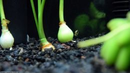 Planting Dwarf Onion Bulbs