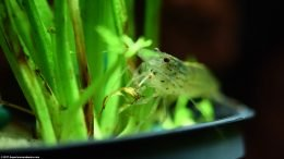 Potted Water Sprite Plant With An Amano Shrimp